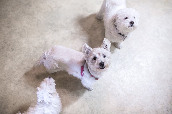 Two small white dogs