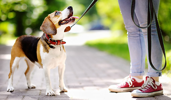 Beagle being trained on leash
