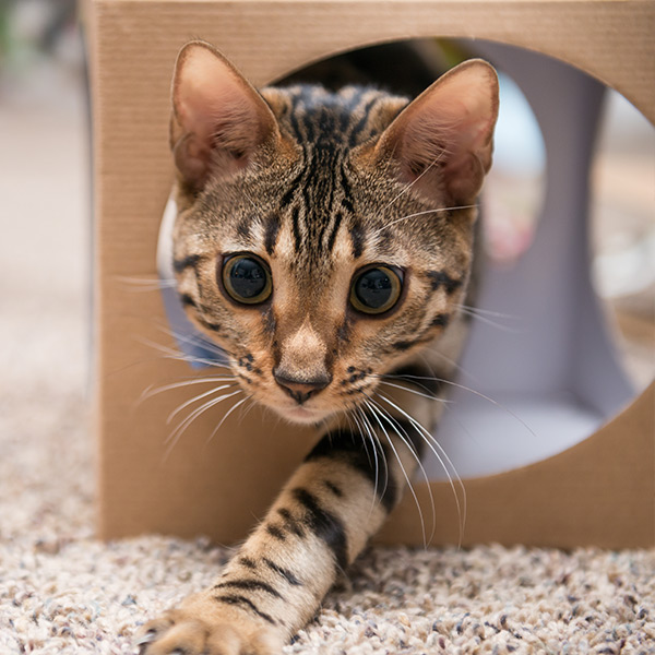 Cat crawling out of a box