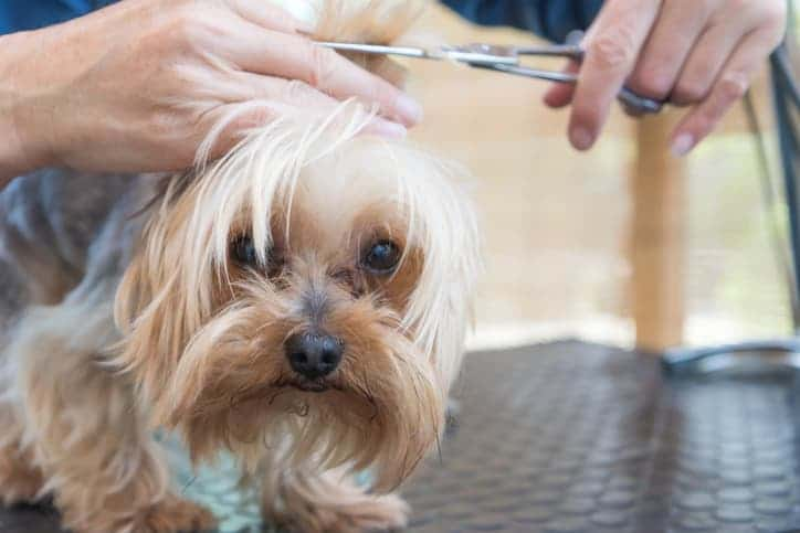 yorkie getting a haircut